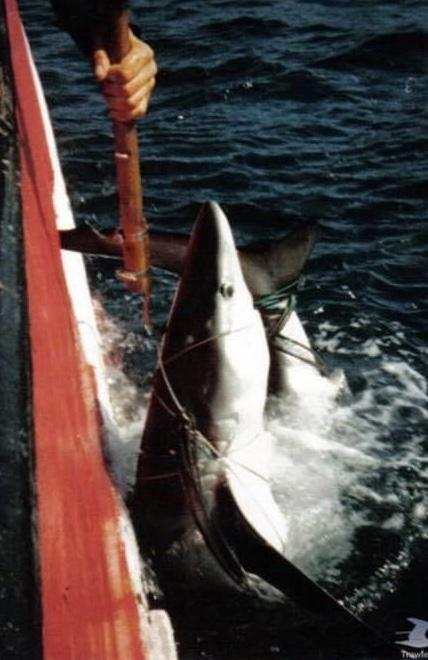 Blue shark being loaded aboard the Guernsey fishing vessel, the Josephine Marie