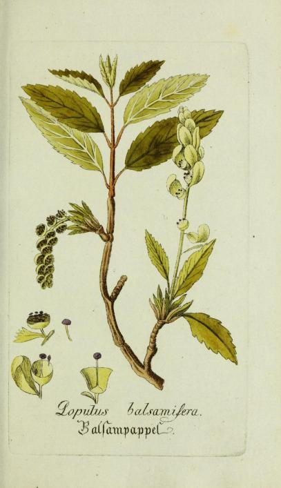 The balsam of peru 1734 priaulx library from harvard university library mightylinksfo