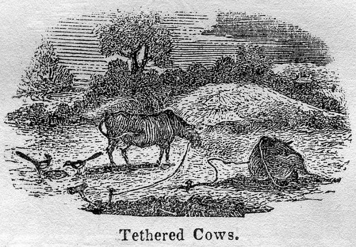 Tethered cows from Bellamy's Pictorial Guide of 1843 in the Library collection.