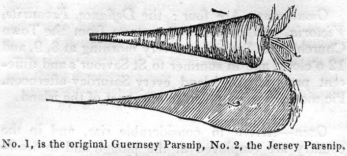 Parsnips from Bellamy's Pictorial Guide to Guernsey, 1843, Priaulx Library Colleciton