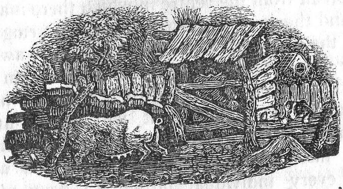 Pigs from Bellamy's Guide, 1843, Priaulx Library Collection