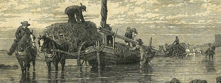 Vraicing, 1852, Illustrated London News, Priaulx Library Collection